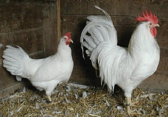 Топ лучших пород кур-несушек для разведения на домашней ферме