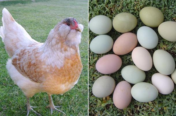 Порода Амераукана и ее яйца