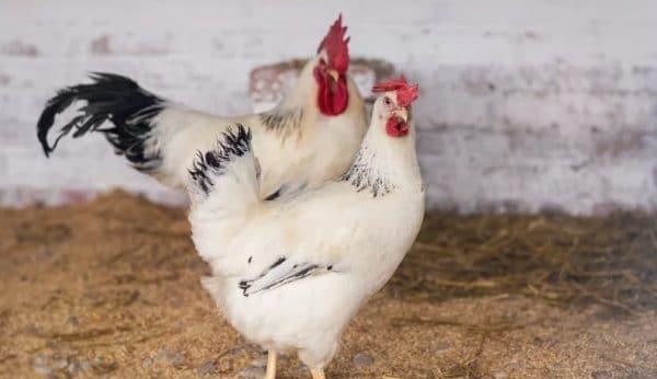 адлерская порода кур петух и курица