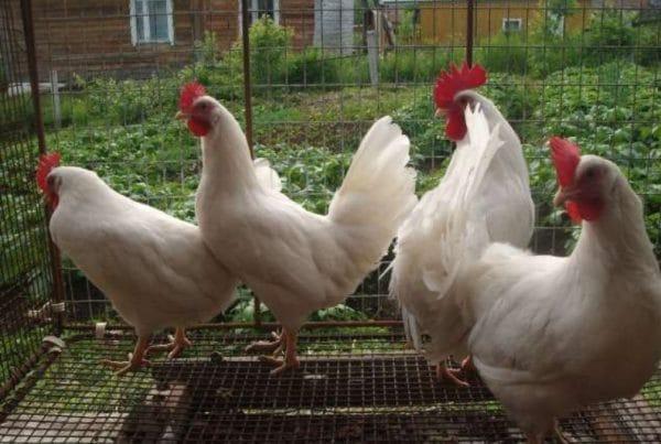 Карликовым леггорнам нужно меньше места, чем обычным курицам