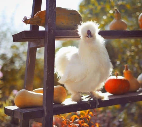 Цыплята выводятся слабенькими и боящимися холода