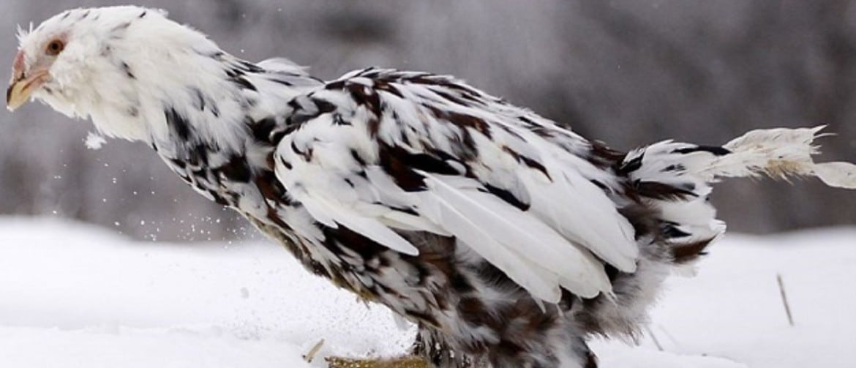 Орловские ситцевые куры - фото и описание породы