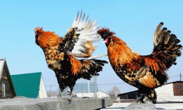 Павловские курицы отличаются диким темпераментом
