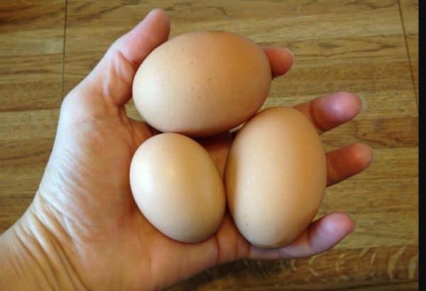 Средняя несушка павловской курицы в год дает 300 яиц