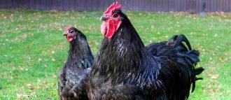 Куры которые несут голубые яйца породы