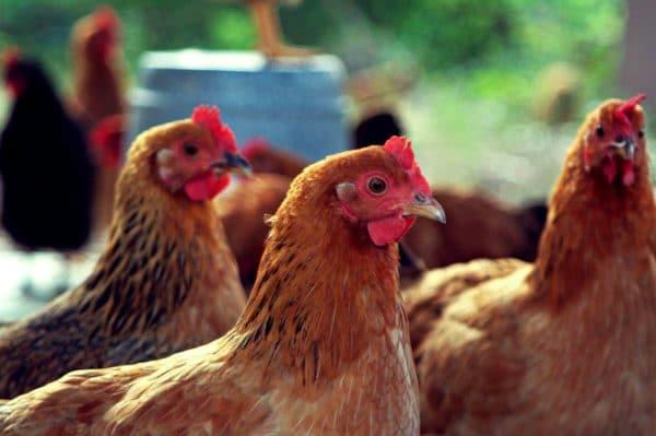 Обнаружив паразитов на курицах, обрабатывают не только кур, но и птичник