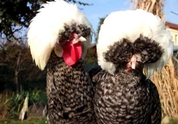 Куриные вши не приживаются на человеке и животных