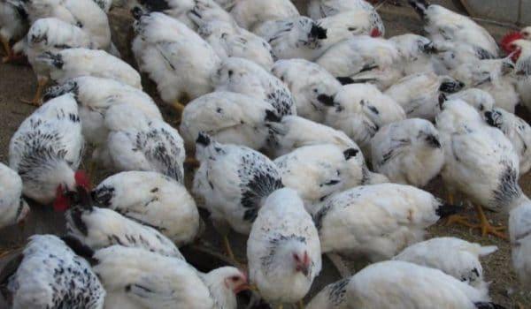 Продуктивность птицы по мясу и яйцу высокая