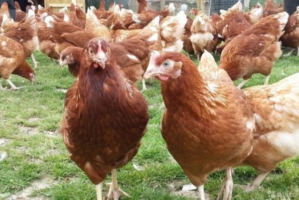 Корма птице дают в начале болезни небольшими порциями с лекарственным препаратом