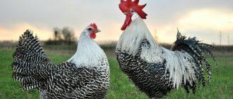 Голошейная курица