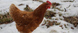Кокцидиоз у кур: симптомы и лечение