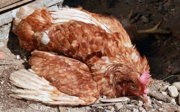 Падение кур и цыплят на ноги – тревожный симптом