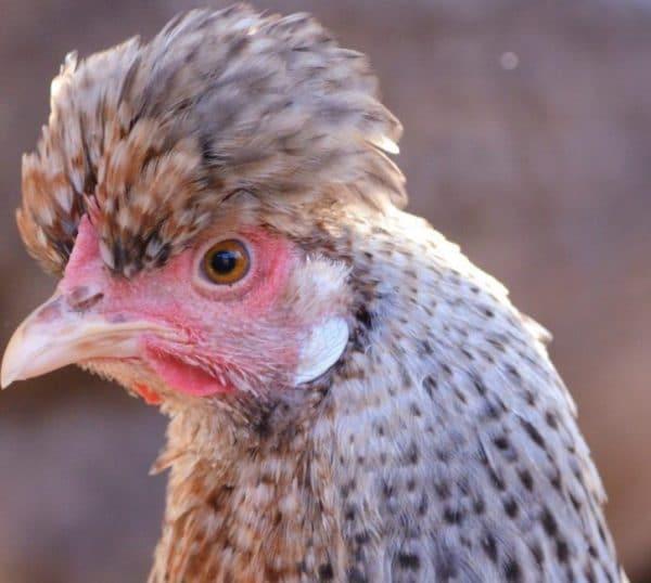 Родительский инстинкт у птицы полностью отсутствует