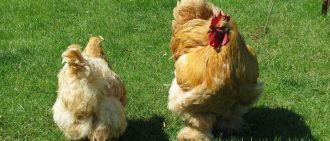 Фавероль: мясо-яичная порода кур из Франции