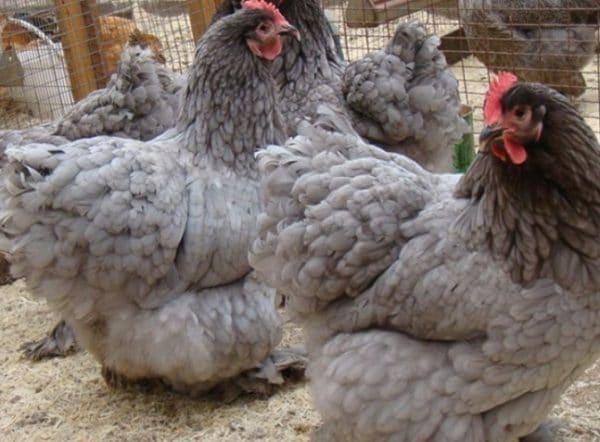Взрослые курицы едят крупу, злаки и комбикорм