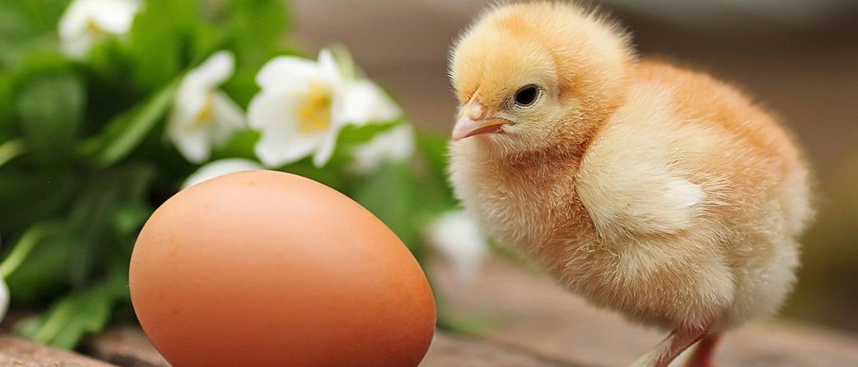 Синий гребень у курицы причины