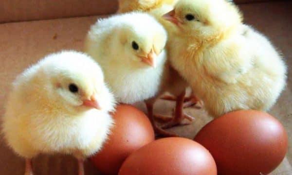 Цыплята билефельдер не потребуют особых навыков выращивания