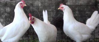 Куры лысеют: советы ветеринара, почему выпадают перья зимой