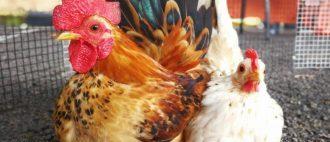 Цыплята клюют друг друга до крови что делать лечение
