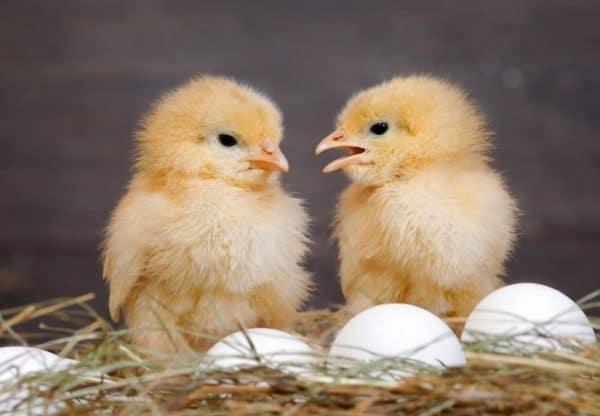 После линьки количество и качество яиц увеличиваются