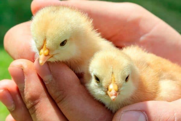 Цыплята яичного направления перья начинают менять в месяц