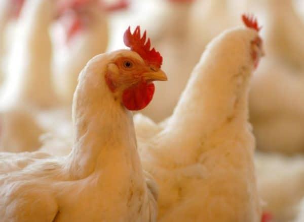 Если есть подозрение о наличии микоплазмоза в поголовье, нужно обязательно провести антибиотикотерапию