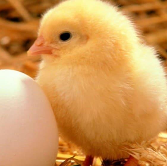 Болезнь у цыплят лечится сходным образом со взрослыми курами