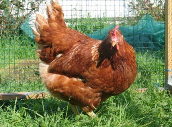 Для организма птицы период смены перышек является тяжёлым.