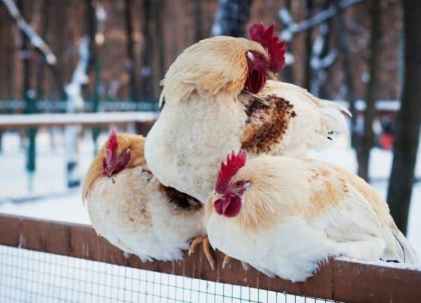 Грамотное кормление кур в период смены перышек значительно ускоряет процесс