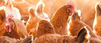 Сколько курица сидит на яйцах для вывода