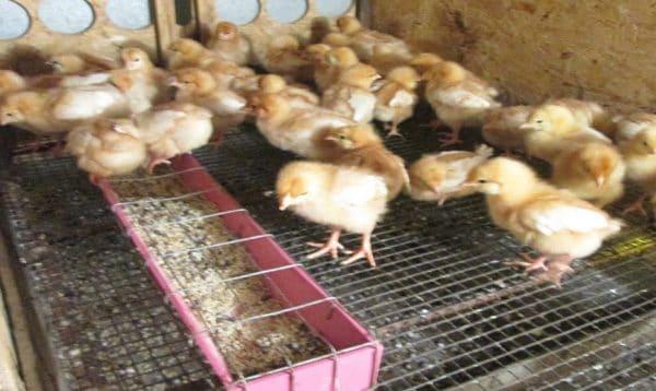 Кормить цыплят нужно каждые 2 часа в течение суток