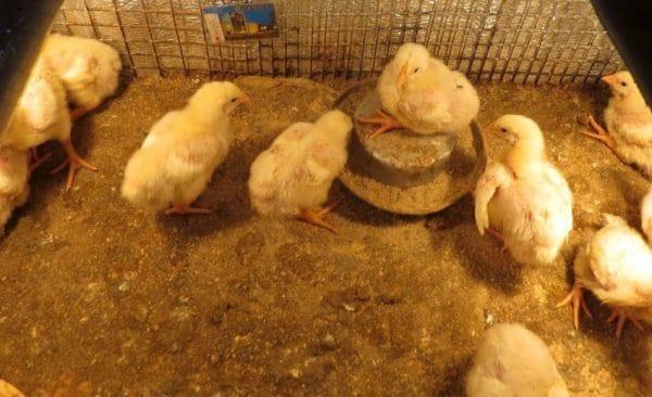 Цыплята питаются не менее 7 раз в сутки