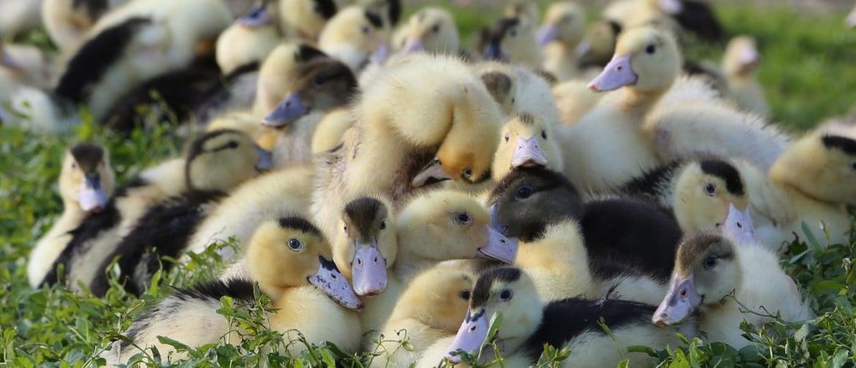 Когда начинают нестись утки - особенности периода