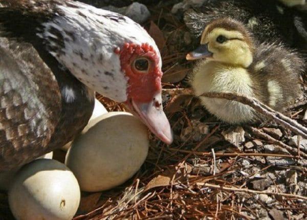 Утки начинают нестись с 5–6 месяцев, если их содержат по правилам