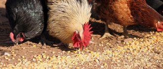 Сколько курица высиживает яйца: готовим гнездо, выбираем наседку и яйца