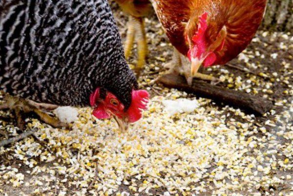У кур ускоренный обмен веществ, поэтому для них зерновые злаки необходимы
