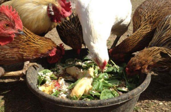 Зелень важный компонент в рационе для кур