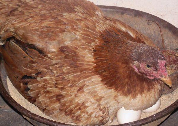За период высиживания яйца можно просвечивать не более трех раз