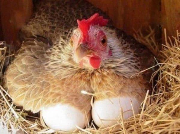 Домашняя птица чаще болеет от инфекции или от нашествия паразитов