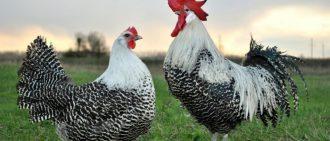 Почему куры лысеют и что делать: причины алопеции у несушек на спине, шее и голове, чем лечить, советы ветеринара    Почему лысеют цыплята