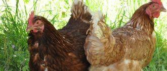У цыплят понос что делать