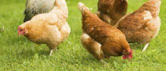 Чем кормить кур несушек для лучшей яйценоскости в домашних условиях: советы
