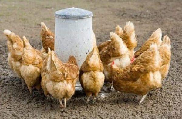 Несушка в пик яйцекладки нуждается в питании с повышенным содержанием белка, витаминов и микроэлементов