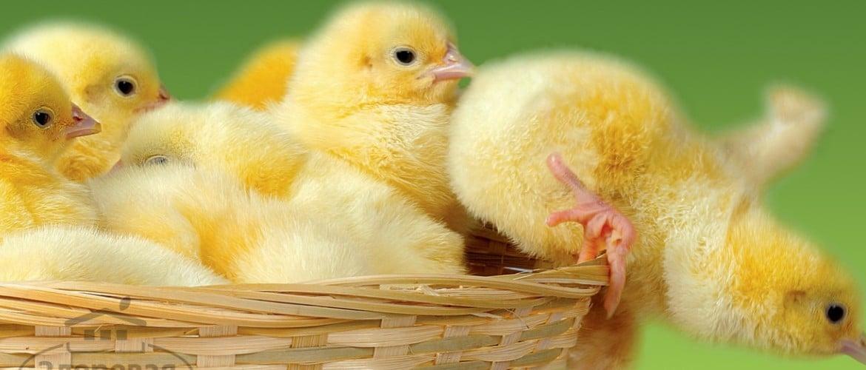 Как сделать брудер для цыплят своими руками: чертежи и примеры яслей для птенцов