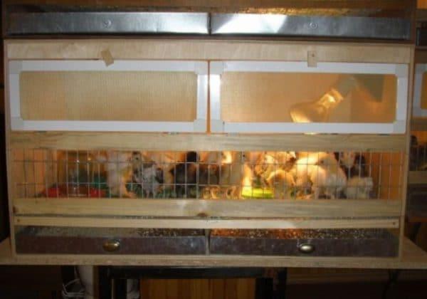 Для суточных цыплят свет должен гореть в домике круглые сутки