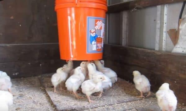 Поилка из пластикового ведра для цыплят