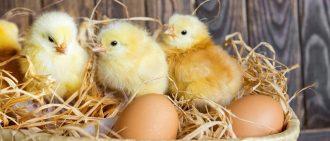 Условия вылупления цыплят