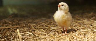 Вылупляются цыплята что делать