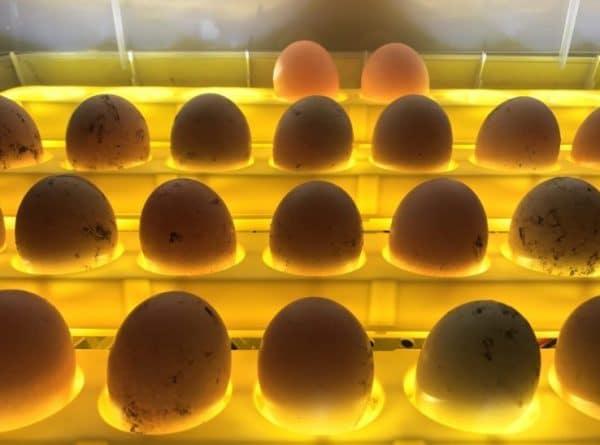 Условия содержания напрямую влияют на выживаемость цыплят