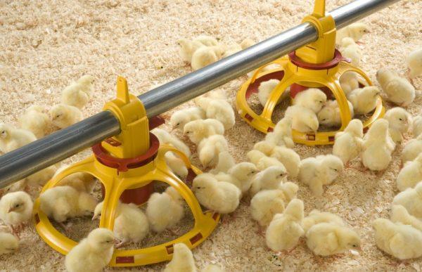 Цыплят в возрасте суток кормят более разнообразно, чем только что проклюнувшихся
